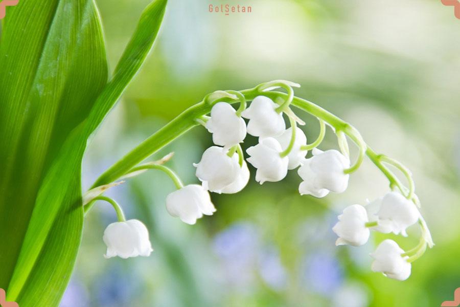 شرایط مراقبت از گل موگه