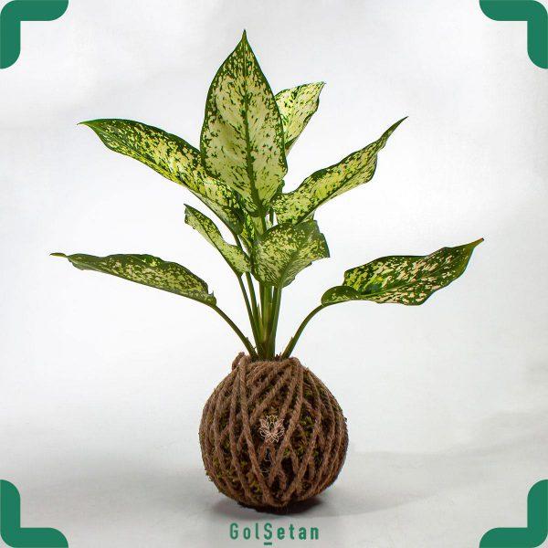 گیاه کوکداما آگلونما هلندی
