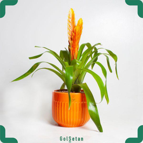 وریزیا نارنجی با گلدان سرامیکی