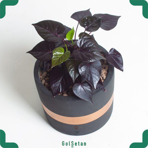 Sweet Potato سیاه در گلدان بتنی