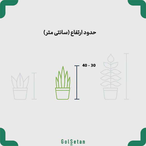 ابعاد گیاه پدیلانتوس با گلدان بتن