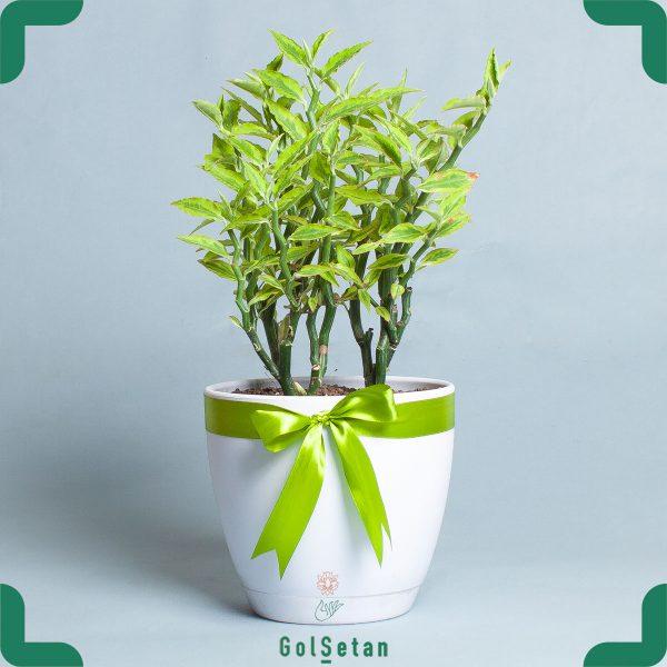گیاه پدیلانتوس با گلدان پلاستیکی زیبا و جذاب