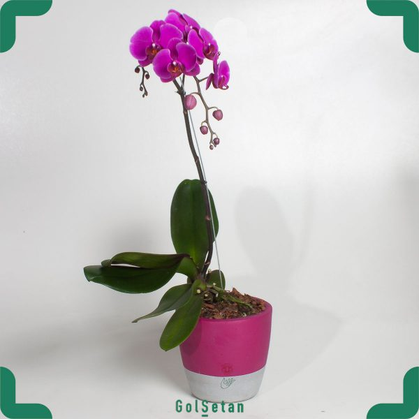 گل ارکیده بنفش با گلدان بتنی زیباترین گیاه خانگی