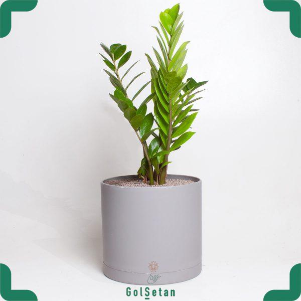 زاموفیلیا در گلدان طوسی مقاوم و همیشه سبز