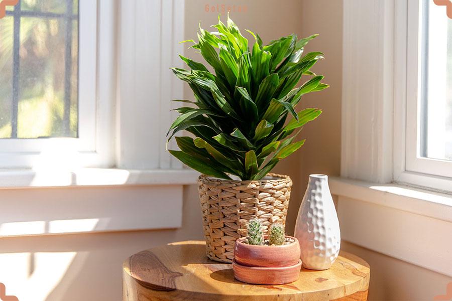 نور مورد نیاز برای نگهداری از گیاه دراسنا