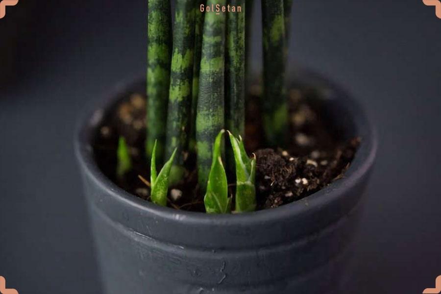تکثیر گیاهان خانگی به روش پاگیاه