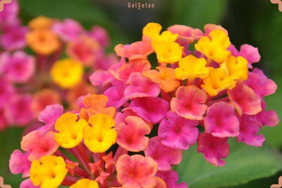 کاشت و نگهداری از گل شاه پسند در گلدان