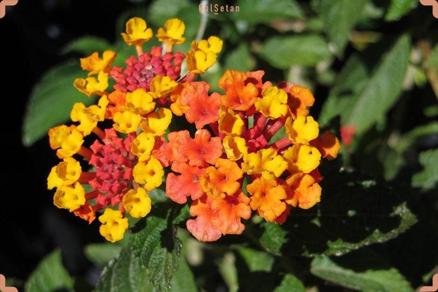 تصویر گل شاه پسند زرد نارنجی