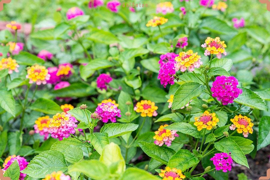 نور مورد نیاز برای نگهداری از گل شاه پسند
