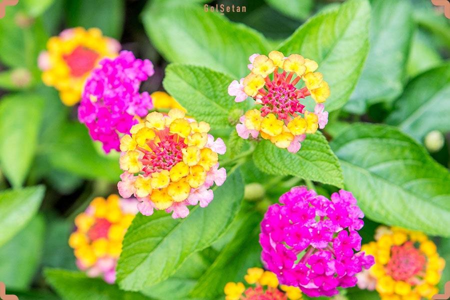 روش نگهداری از گل شاه پسند در زمستان
