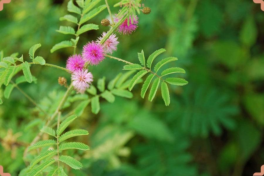 گلدهی گل قهر و آشتی یا گیاه میموزا