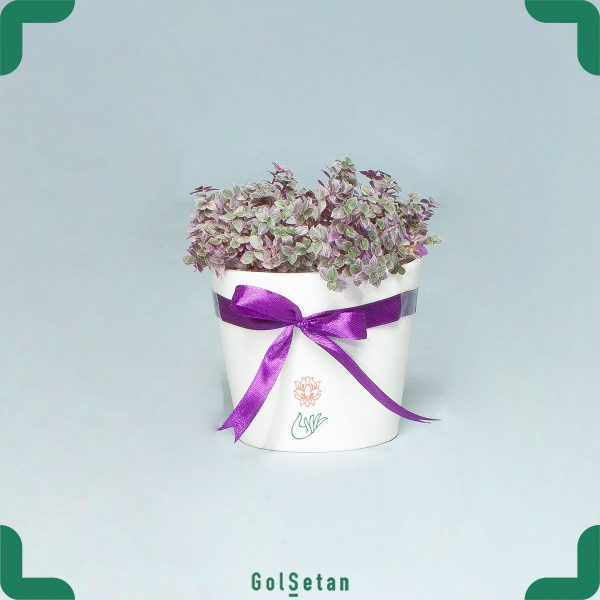 گلدان چمن عروس هلندی کالیسیا