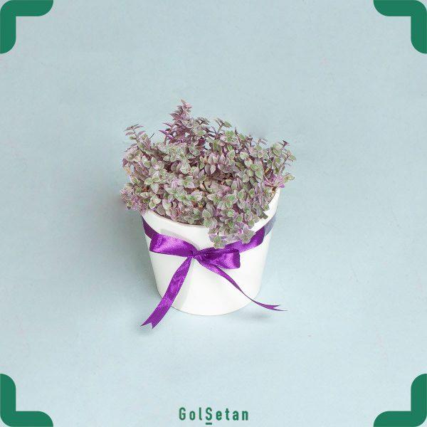 گلدان چمن عروس هلندی گیاهی همیشه سبز