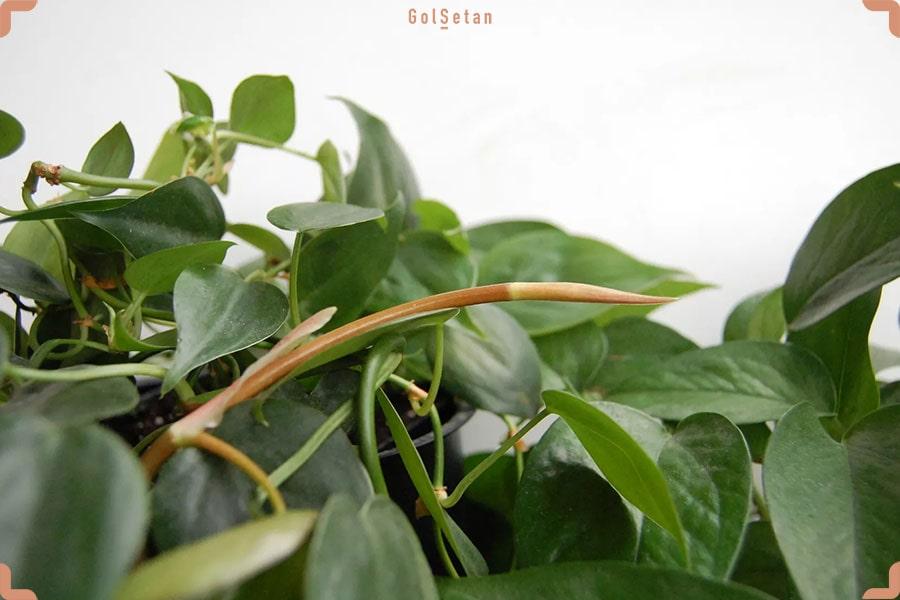 فرق بین پتوس و فیلودندرون - تصویر مربوط به تفاوت این دو گیاه در شرایط نگهداری