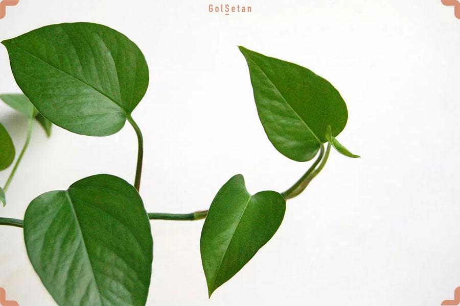 عادت های رشد و برگ های جدید گیاه پتوس و فیلودندرون