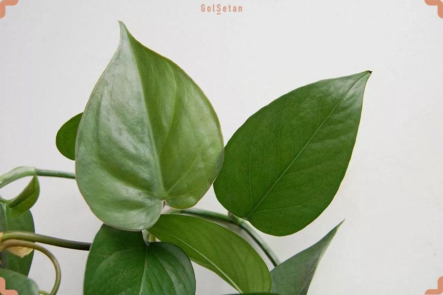 شکل و ساختار برگ های پتوس و فیلودندرون