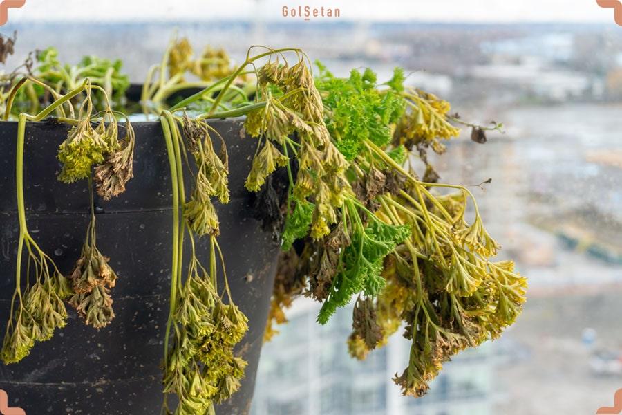 مقدمهای بر علت پژمرده شدن گل یا گیاه بعد از تعویض گلدان