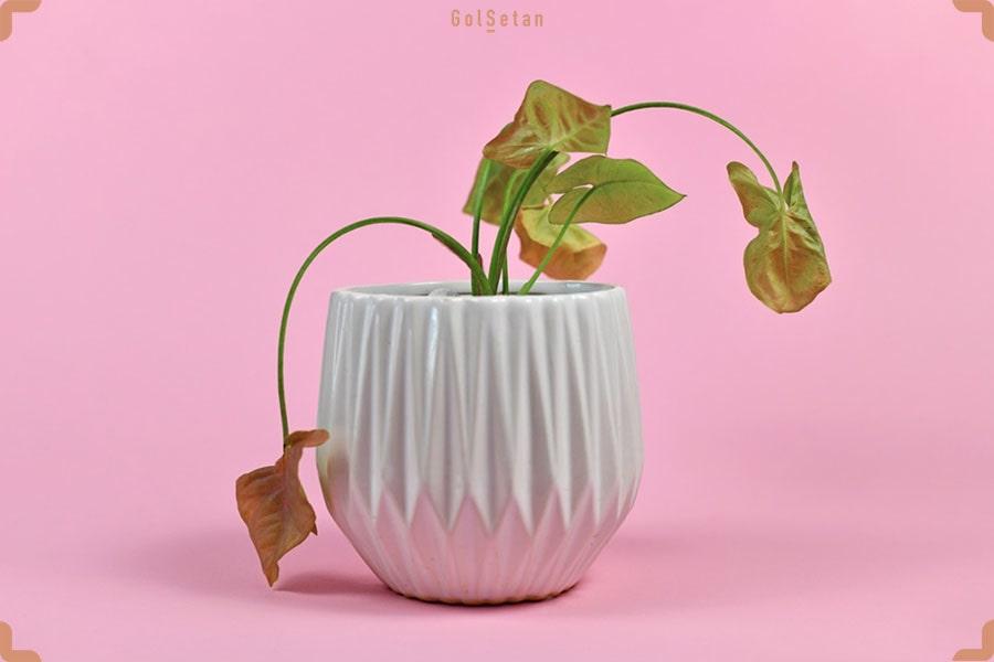 آسیب به ریشه، اولین دلیل پژمردگی گیاهان بعد از تعویض گلدان