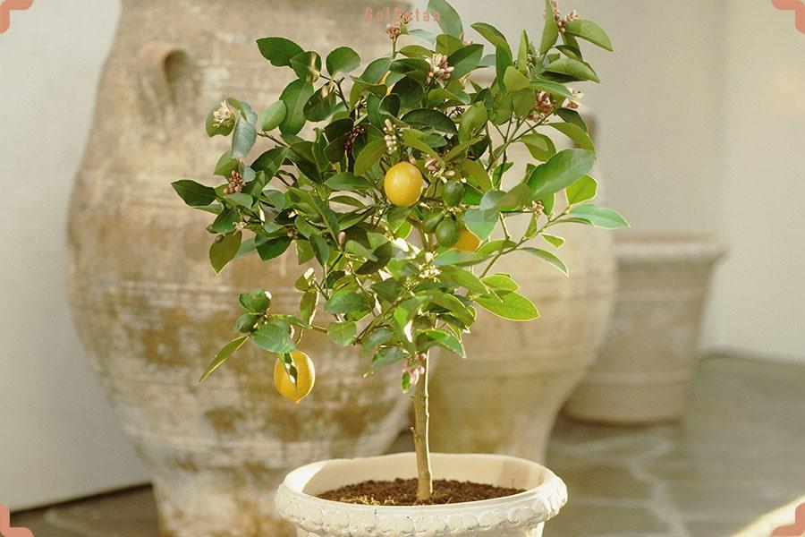 لیمو از نمای نزدیک