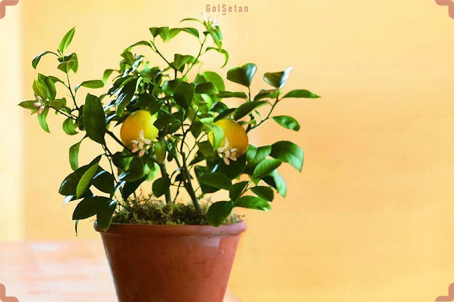 عکس درخت لیمو با میوه و گلدان سفالی