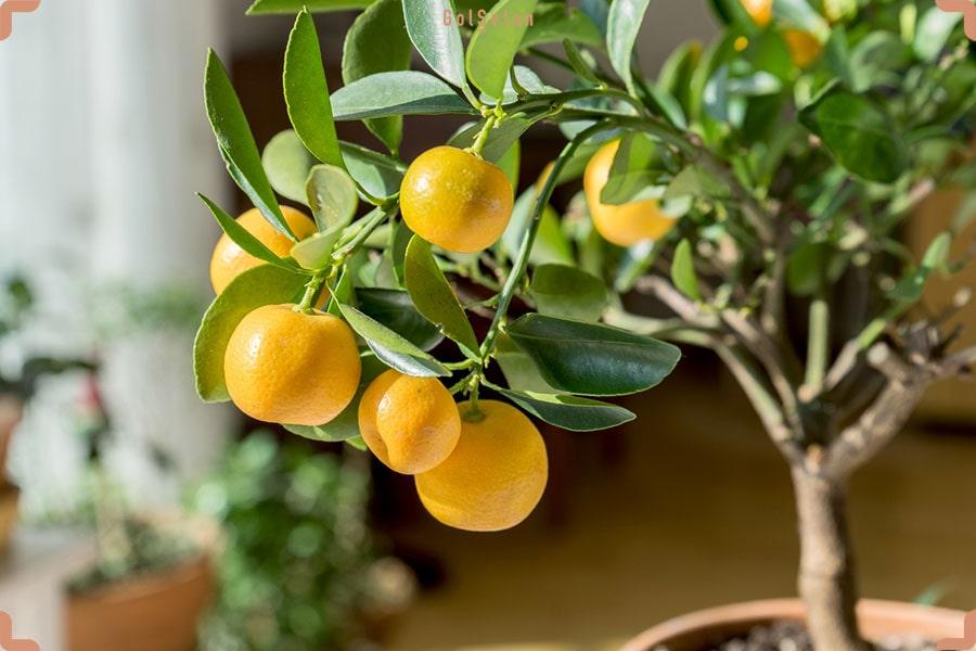 درخت لیمو با میو