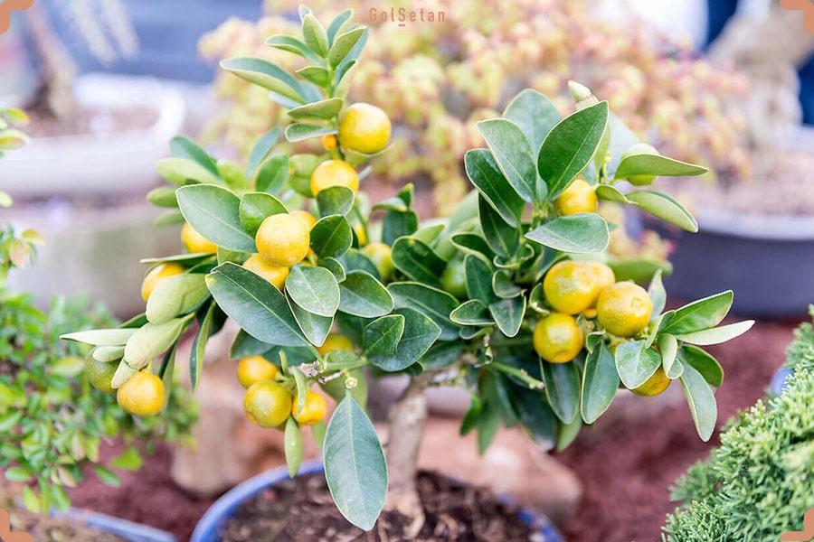 آفات و بیماری های رایج در طول نگهداری از درخت لیمو