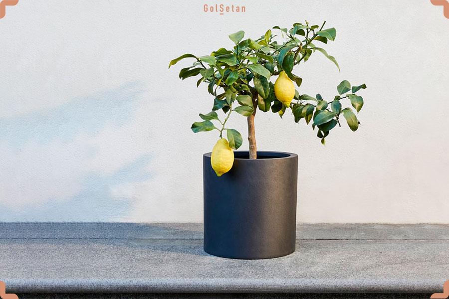 روش نگهداری از درخت لیمو