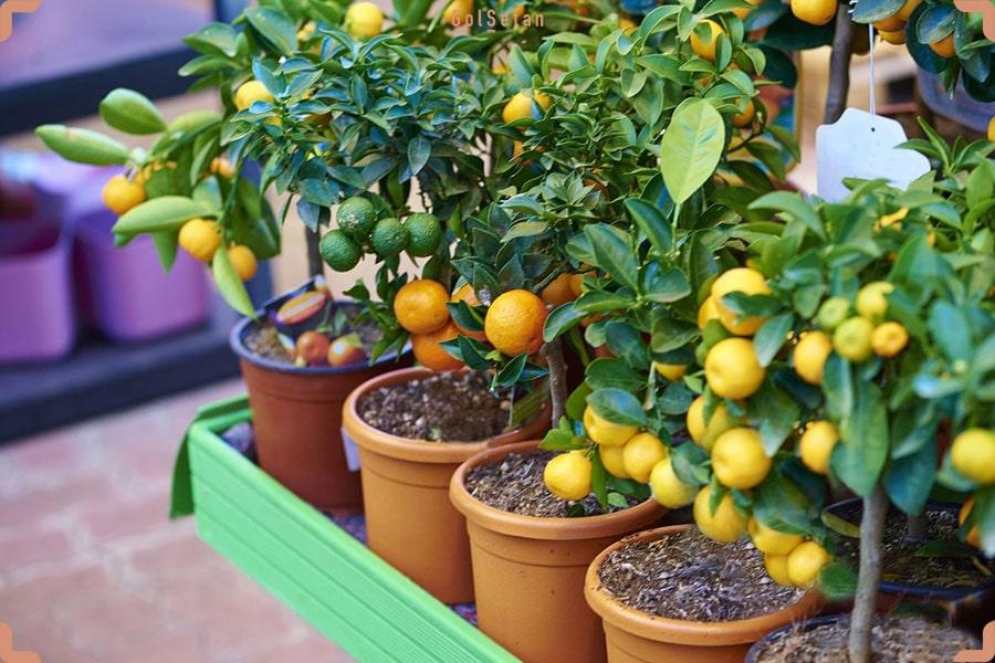راهنمای نگهداری از درخت لیمو در خانه